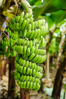 Banana field