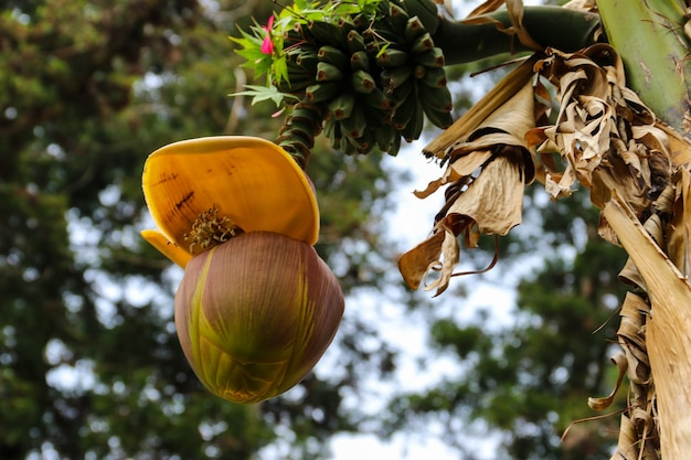 Banana flower and small green bananas growing on a tree