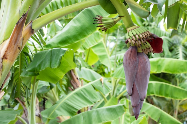 Banana flower tree leaf in natural