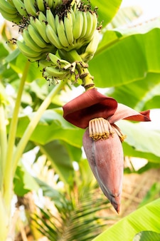 Banana flower and unripe fruits on a tree in the garden