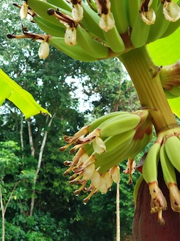 Banana fruits growing in the jungle close up