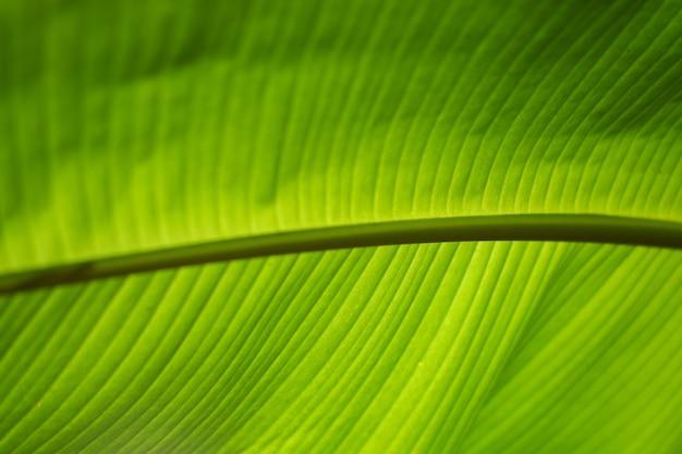 바나나 잎은 식품 용기 대신 사용됩니다. 태국에는 배경으로 많이 사용됩니다.