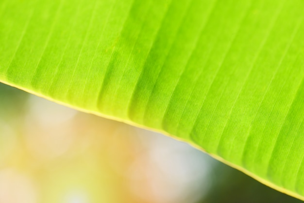 バナナの葉の背景-バナナの木の自然の日の出の緑の葉