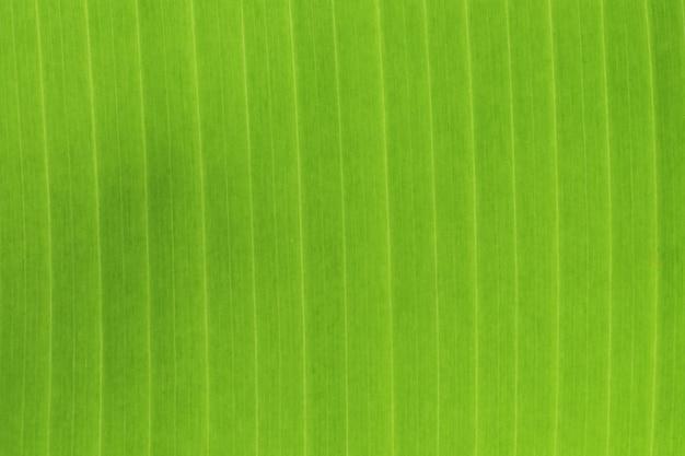 Banana leaf close up texture.