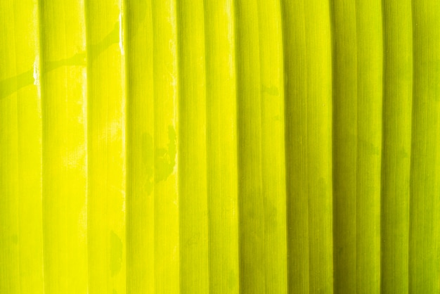 Banana leaf front view background