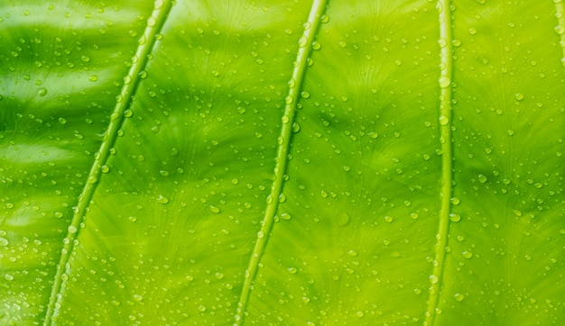 Banana leaf, green leave, abstract background