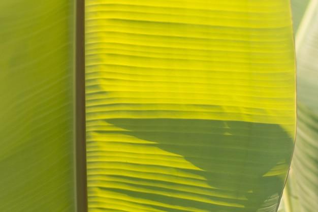 バナナの葉、熱帯のヤシの葉の緑のテクスチャ背景