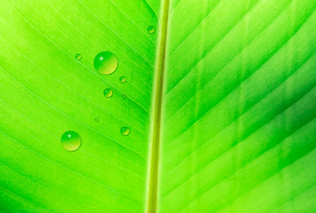 Banana leaf texture with drop of water