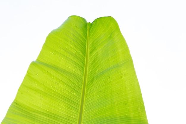 Банановые листья на белом фоне.