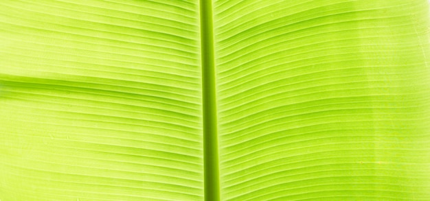 Banana leaves texture for background.