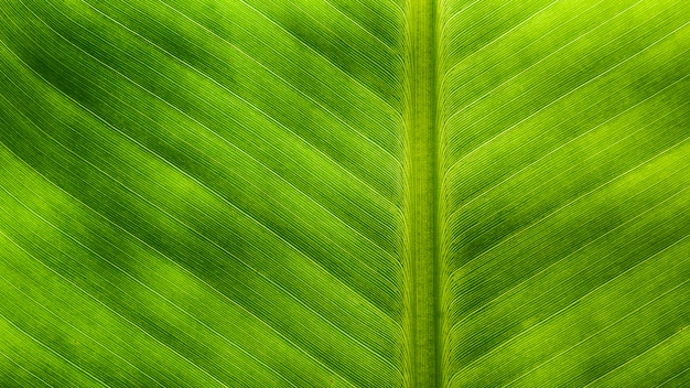 Banana leaves texture - background