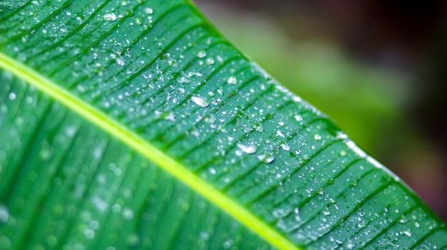 Banana leaves with drop water.