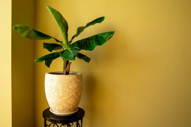 鍋にバナナムサ植物自宅でエキゾチックな植物クローズアップ