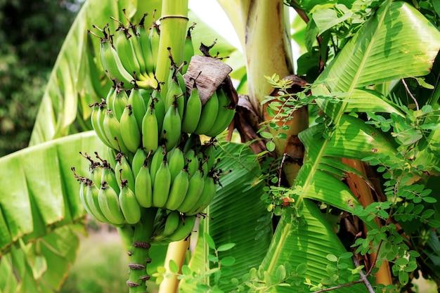 Банановое дерево на ферме в дневное время.