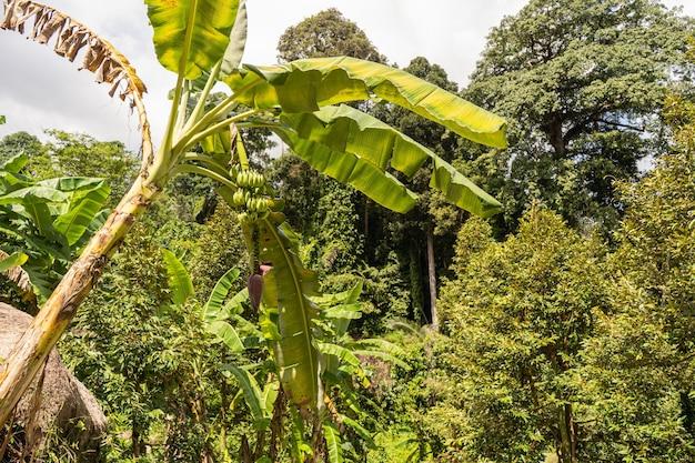 タイの枝に緑のバナナの束とバナナヤシ