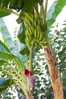 녹색 잎과 분홍색 손잡이가있는 바나나 식물