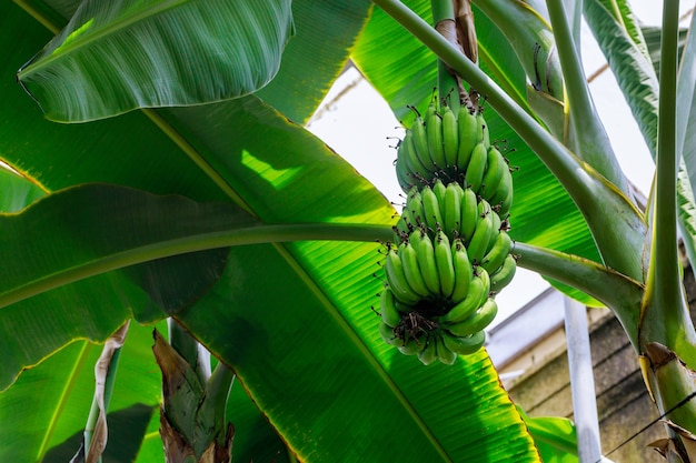 Banana plantain tree with green unripe bananas