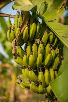 Banana plantation. banana farm. young banana plants in rural farm.