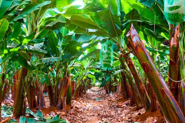 바나나 농장 - 정원에 있는 바나나 나무의 행