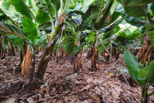 Banana plantation in tenerife, canary islands, spain.