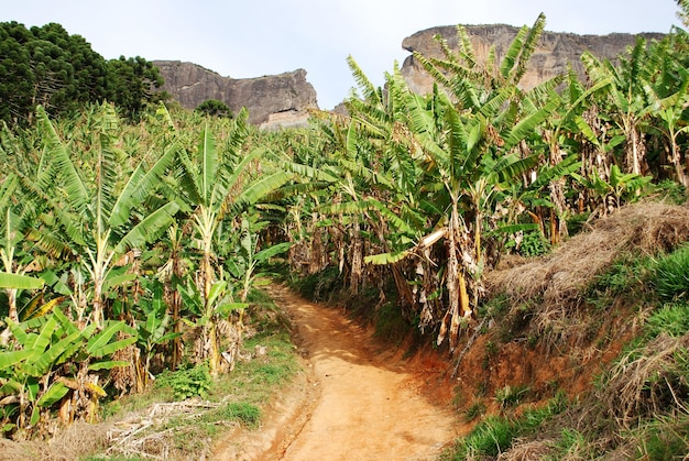 Banana plantation on the way to pedra do bau between campos do jordao and sao bento do sapucai