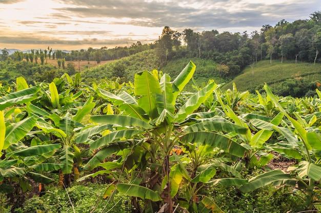 バナナの木と美しい山