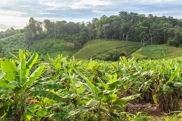 Банановое дерево и красивая гора