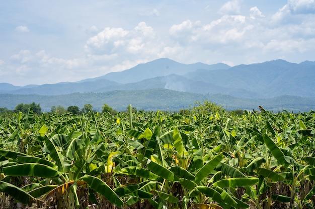 山を背景にバナナの木のフィールド