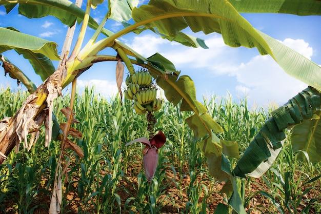 Banana tree in field.