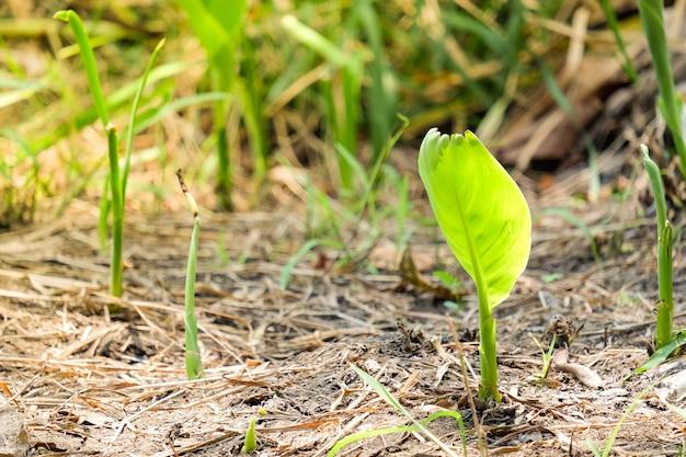 乾燥した土壌-果物と自然の概念にバナナの木(成長)。