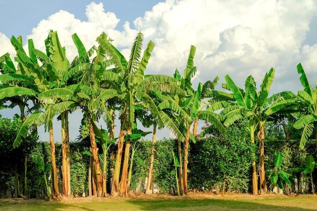 Банановое дерево в саду