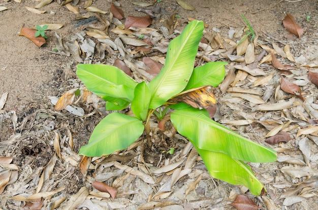 Банановое дерево. на вершине небольшого бананового дерева возле земли.