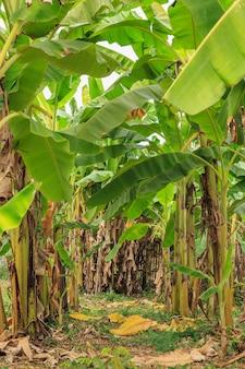 成長するバナナの束を持つバナナの木