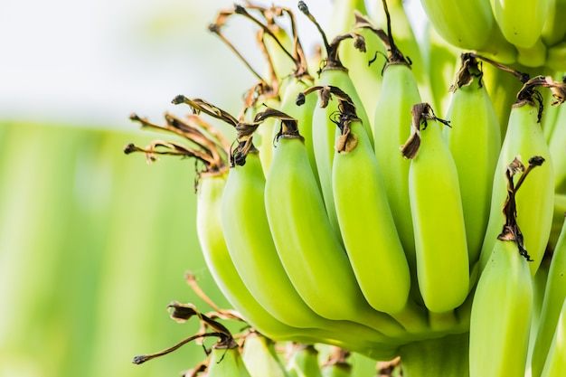 Banana tree with bunch of raw green bananas