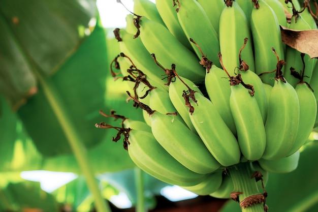 Banana on tree with texture.