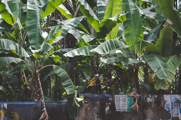 Banana trees growing behind a stone wall