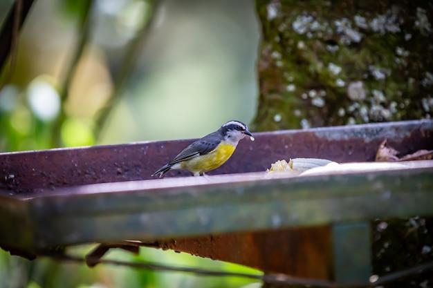 Bananaquits (coereba flaveola) птица aka cambacica ест банан в сельской местности бразилии