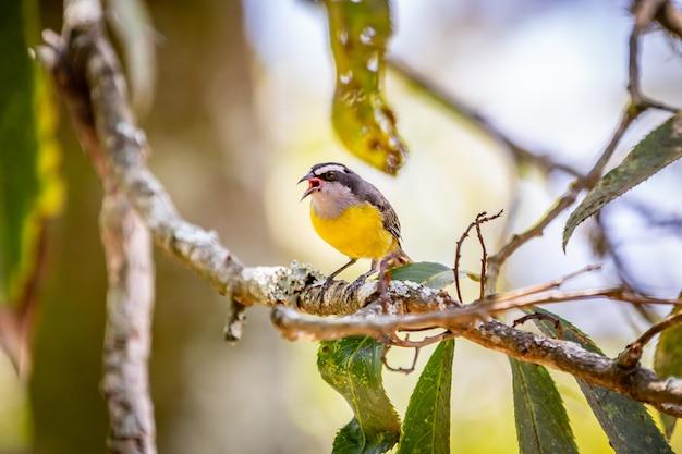 Bananaquits (coereba flaveola) птица, стоящая на дереве в сельской местности бразилии