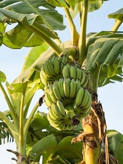 バナナは世界中で栽培される経済作物です