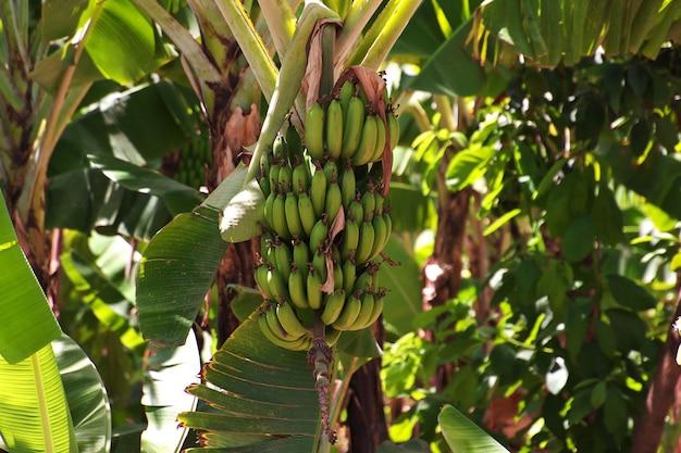 タンザニアのロッジでバナナ