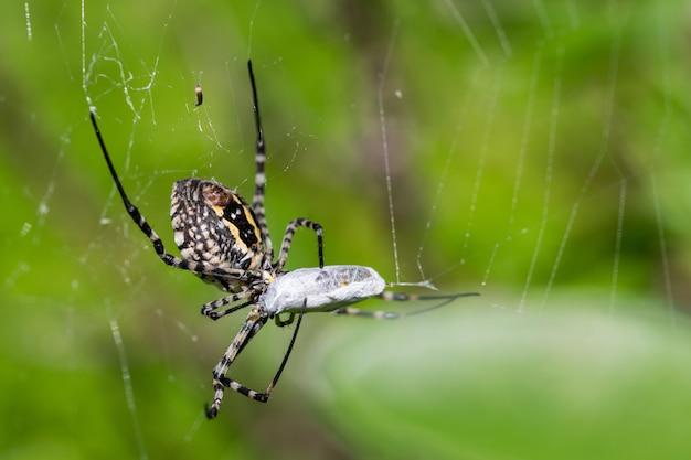 Ragno argiope fasciato sulla sua rete per mangiare la sua preda, un pasto per mosche
