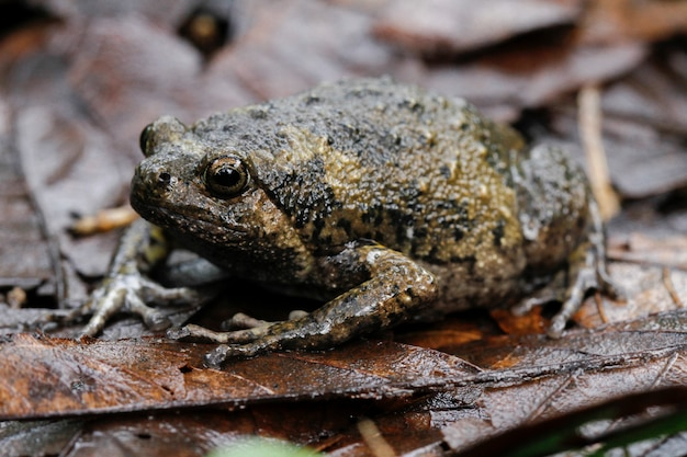Banded bullfrog or asian narrowmouth toad