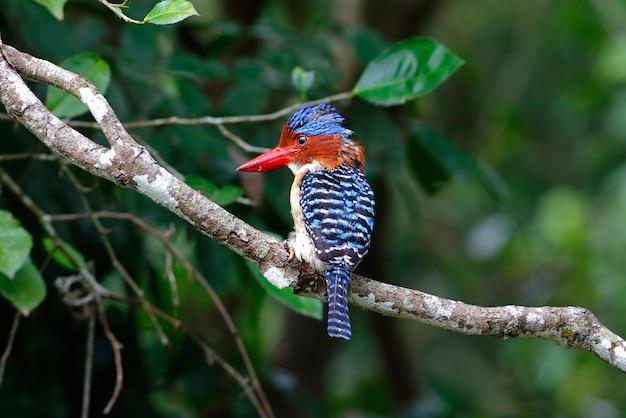 バンダードキングフィッシャーlacedo pulchellaタイの美しい男性の鳥