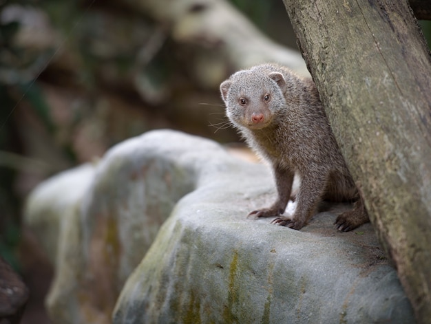 Banded mongoose on a rock