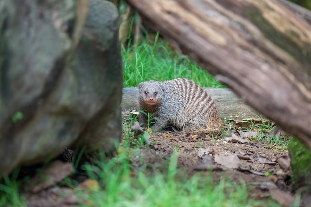 Banded mongoose sits on the ground