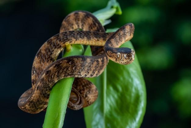 Бандендская килевидная змея, pareas carinatus