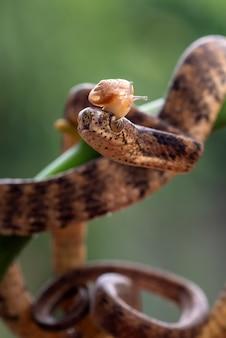 頭にナメクジがいるバンドエンドキールナメクジヘビ