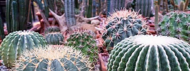 バナー。サボテン農園に展示されているさまざまなサボテンの植物。多肉植物の鉢植えの植物と中間色の環境に優しい背景。