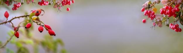 Баннер, осенний фон с ягодами шиповника и калины и свободное место для вставки текста