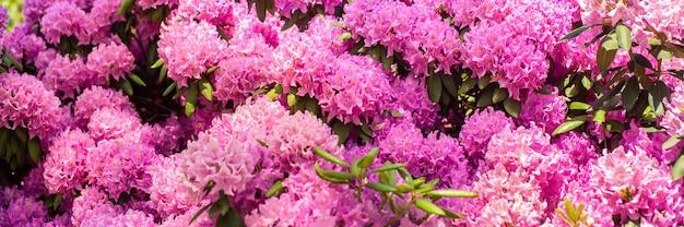 バナー。美しい咲くピンクのツツジ-シャクナゲ属の開花低木。ピンク、夏の花の背景。園芸。